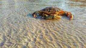 在海滩的Krab 库存图片