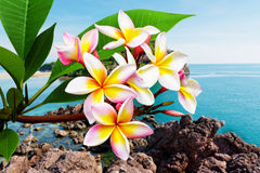 在海滩的Leelawadee花 免版税库存图片