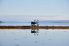 在海滩的Nordkapp驯鹿 库存照片