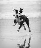 在海滩的Pitbull 免版税库存照片