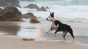 在海滩的Pitbull 库存图片
