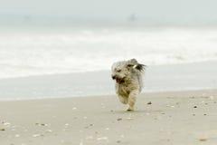 在海滩的Shih Tzu 免版税库存照片