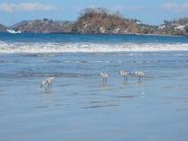 在海滩的Waterbirds 图库摄影