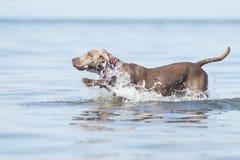 在海滩的Weimaraner狗 免版税图库摄影