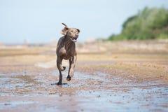 在海滩的Weimaraner狗 免版税库存照片