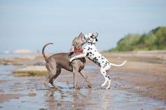 在海滩的Weimaraner狗 免版税库存图片