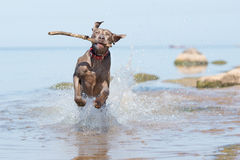 在海滩的Weimaraner狗 库存图片