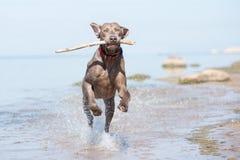 在海滩的Weimaraner狗 库存照片