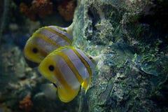 在海水美好的海洋生物游泳下在珊瑚和roack区域 免版税库存图片