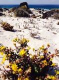 在海滩黄色花 免版税库存照片