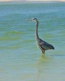 趟过在海洋的伟大蓝色的苍鹭的巢 图库摄影