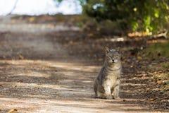 在海滩足迹的野生猫 免版税库存图片