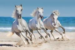 在海滨跑的马牧群 免版税库存照片