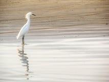 在海洋附近的一只苍鹭 库存图片
