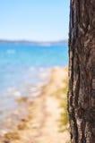在海滩附近的杉树 免版税库存照片