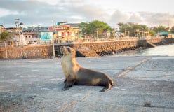 在海滩附近的海狮在日落前的圣克里斯托瓦尔,加拉帕戈斯 免版税库存照片