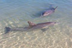在海滩附近的海豚 免版税图库摄影
