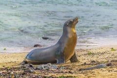 在海滩,加拉帕戈斯,厄瓜多尔岸的海狼  库存照片