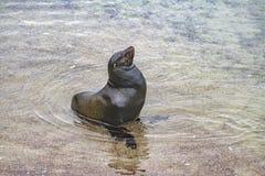 在海滩,加拉帕戈斯,厄瓜多尔岸的海狼  图库摄影