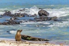 在海滩,加拉帕戈斯,厄瓜多尔岸的海狼  免版税库存照片