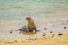 在海滩,加拉帕戈斯,厄瓜多尔岸的海狼  免版税库存图片
