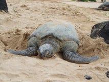 在海滩,奥阿胡岛,夏威夷的绿海龟 免版税图库摄影