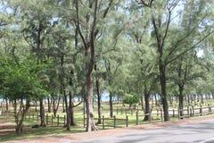 在海滩,毛里求斯的杉树 库存图片