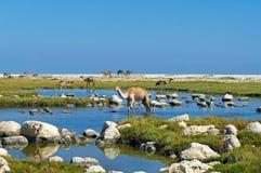 在海滩,阿曼的骆驼 免版税库存图片