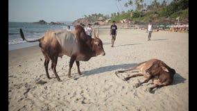 在海滩Vagator的母牛 影视素材