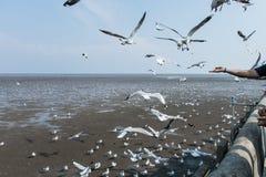 在海Bangpu Samutprakarn泰国的海鸥鸟 免版税库存照片