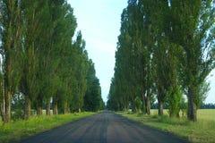 在涂柏油的路的边的绿色高白杨树 免版税库存照片
