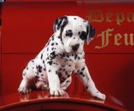 在消防车的小狗dalmation 免版税库存照片