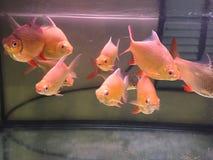 在淡水水族馆的红色被盯梢的锡箔倒钩 免版税图库摄影