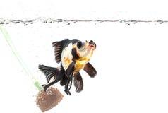 在淡水的金鱼 库存照片