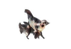在淡水的金鱼 库存图片