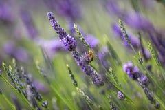 在淡紫色的一只蜂 库存图片