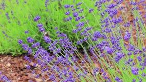 在淡紫色的一只蜂