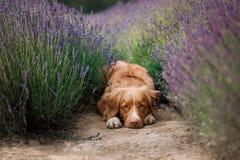在淡紫色的狗 在花的新斯科舍鸭子敲的猎犬 免版税库存图片