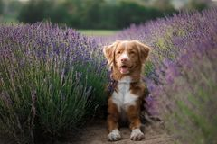 在淡紫色的狗 在花的新斯科舍鸭子敲的猎犬 库存图片