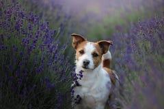 在淡紫色的狗 在花的杰克罗素狗 图库摄影