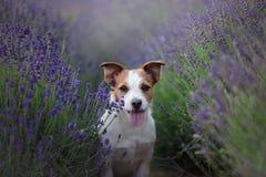 在淡紫色的狗 在花的杰克罗素狗 免版税库存照片