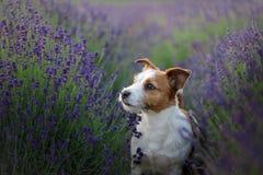 在淡紫色的狗 在花的杰克罗素狗 库存图片
