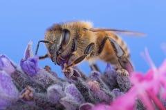 在淡紫色的蜂蜜蜂 免版税库存图片