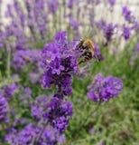 在淡紫色的蜂 免版税图库摄影