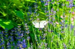 在淡紫色的蝴蝶 免版税库存图片