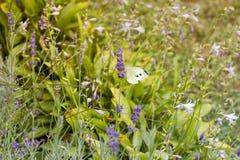 在淡紫色的蝴蝶 库存图片