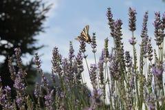 在淡紫色花中的蝴蝶在一个春日 库存照片