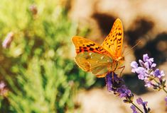 在淡紫色花晴朗的夏天图片的蝴蝶 库存照片
