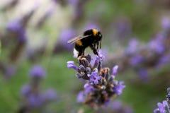 在淡紫色花的土蜂 免版税库存照片