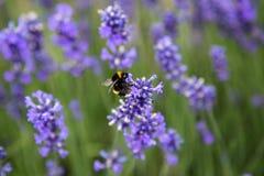 在淡紫色花的大土蜂在新西兰 库存图片